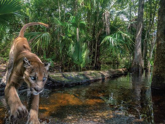 Die Rückkehr des Florida-Pumas