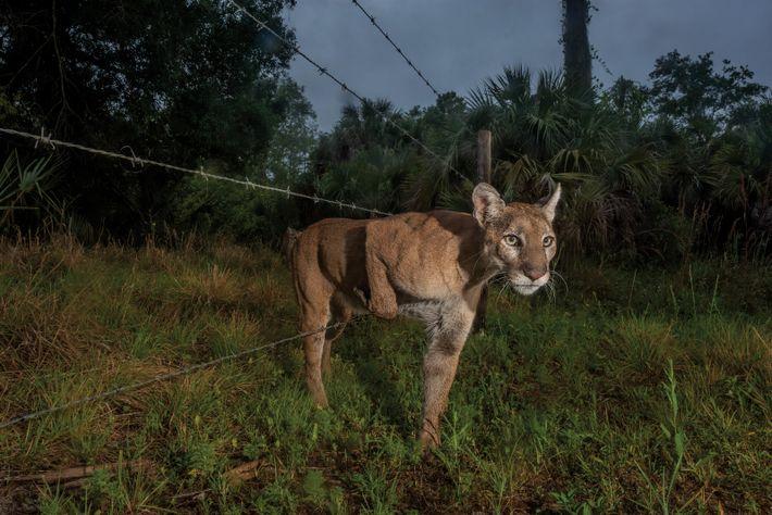 Puma kriecht durch den Zaun eines Schutzgebiets