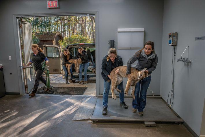 Mitarbeiterinnen tragen ruhiggestellte Jungtiere ins White Oak Conservation Center