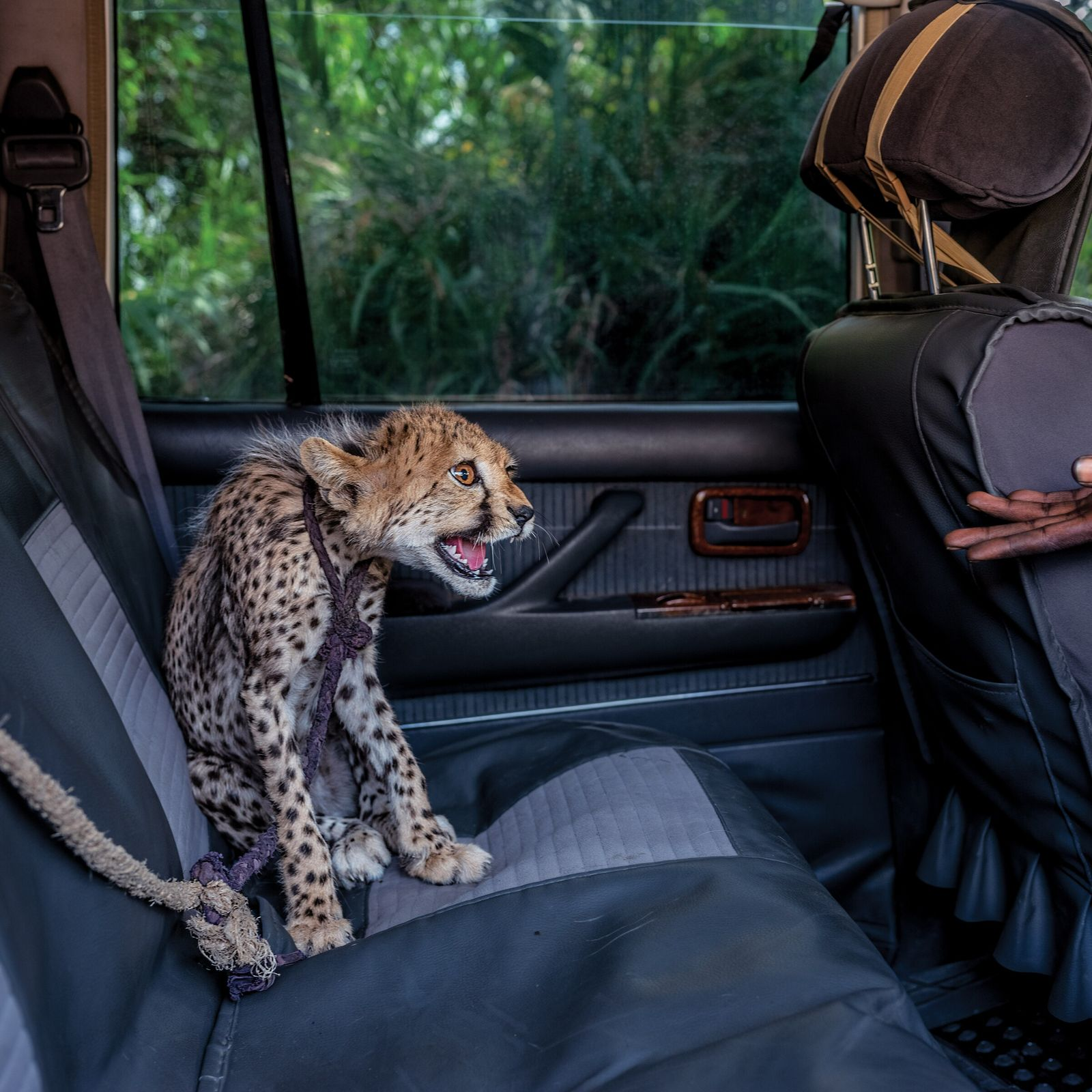 Ein Gepard sitzt angeleint auf dem Rücksitz eines Autos, eine Hand streckt sich von vorne zu ...