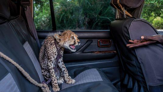 Gepard zu verkaufen
