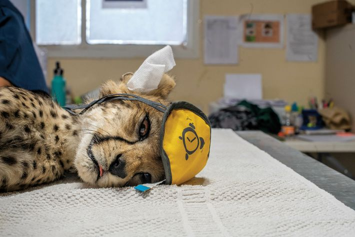 Gepard mit Schlafmaske und Papiertüchern in den Ohren liegt in einer Auffangstation