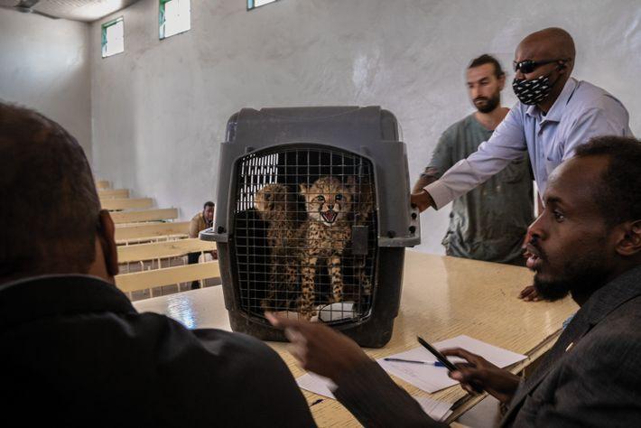 Gepardenbabys in einem Käfig werden von einem Richter und Anwälten begutachtet