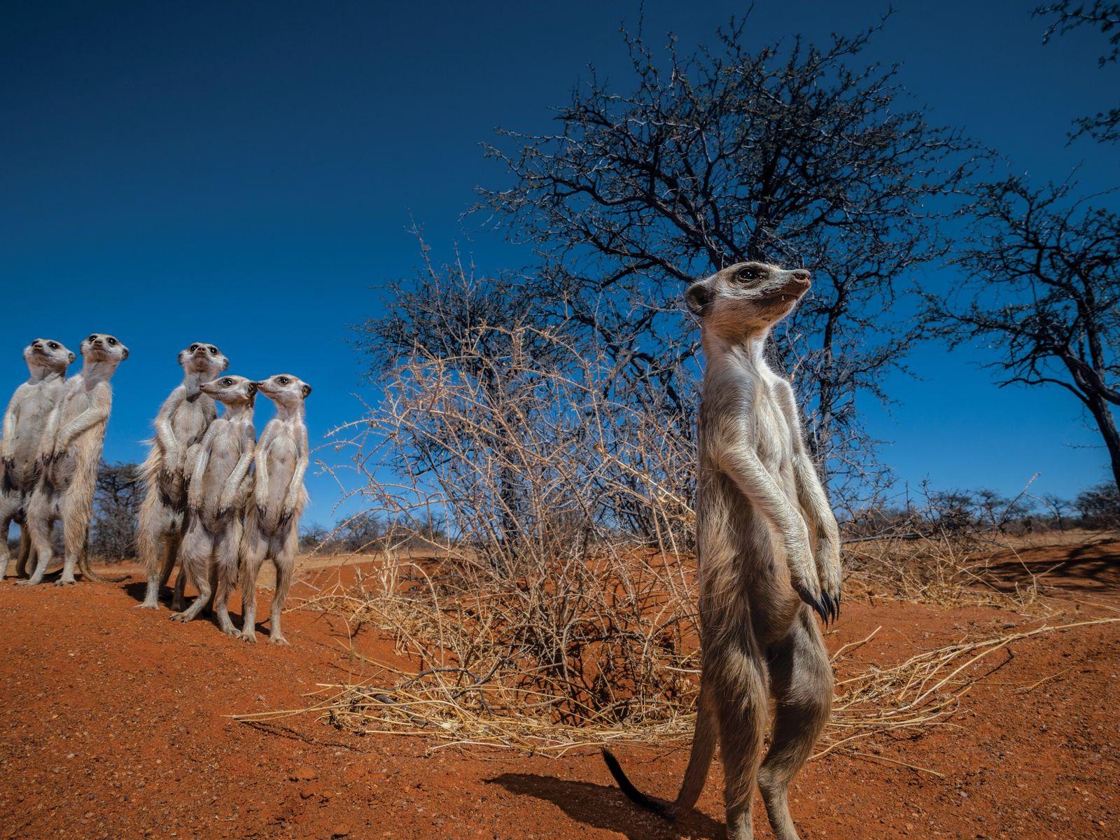 Eine Gruppe Erdmännchen sieht stehend in die Ferne