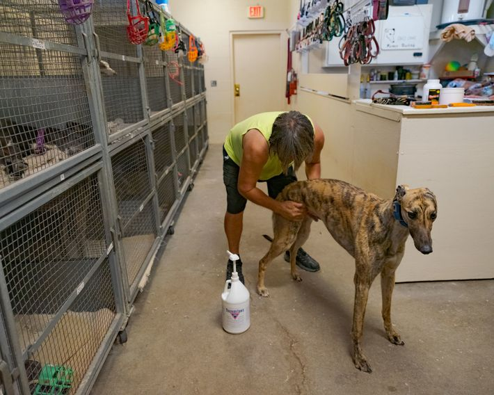 Farmer reibt seinen Hund Rick Swift Creek mit einer muskelberuhigenden Salbe ein. Außerdem untersucht er seine ...