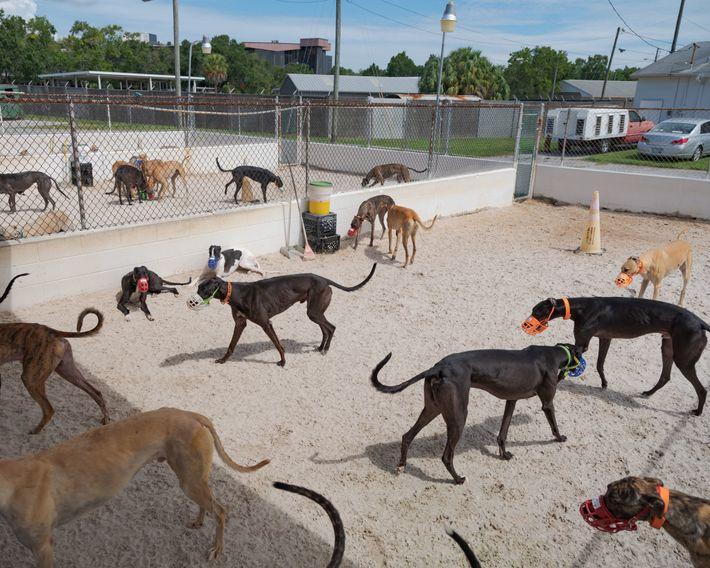 Greyhounds vertreten sich die Beine in den Zwingern von Farmer Racing. Obwohl Windhunde im Allgemeinen sanftmütig ...