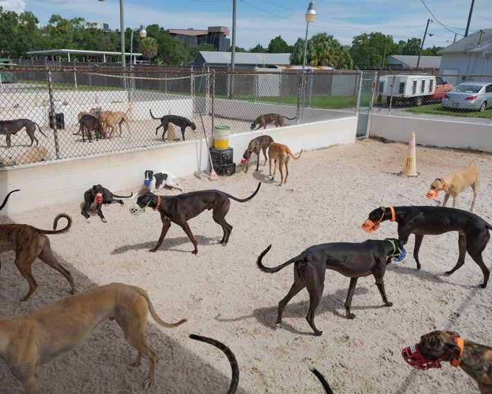 Greyhounds laufen in einem Zwinger in Florida umher. Obwohl sie im Allgemeinen sanftmütig und nicht aggressiv ...