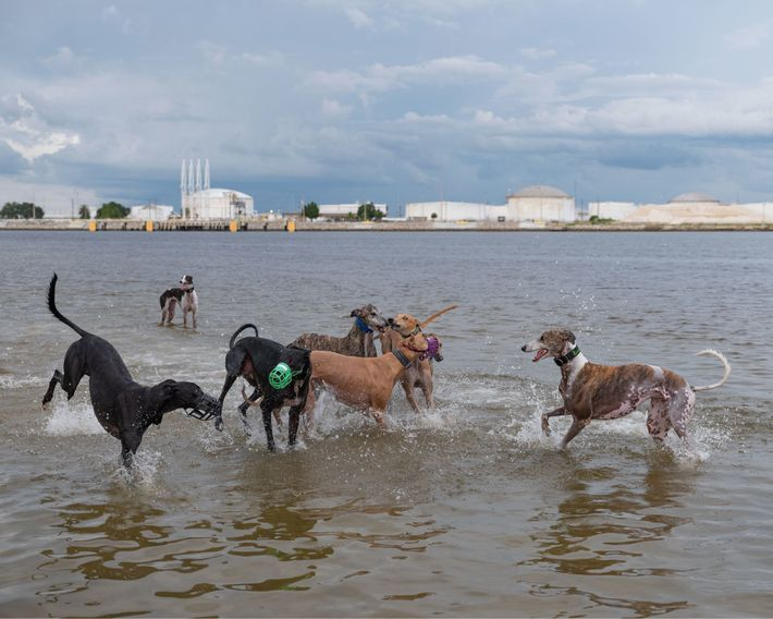 Ehemalige Rennhunde spielen im Wasser des Davis Islands Dog Park. Die Mitglieder der Facebook-Gruppe Beach Bound ...