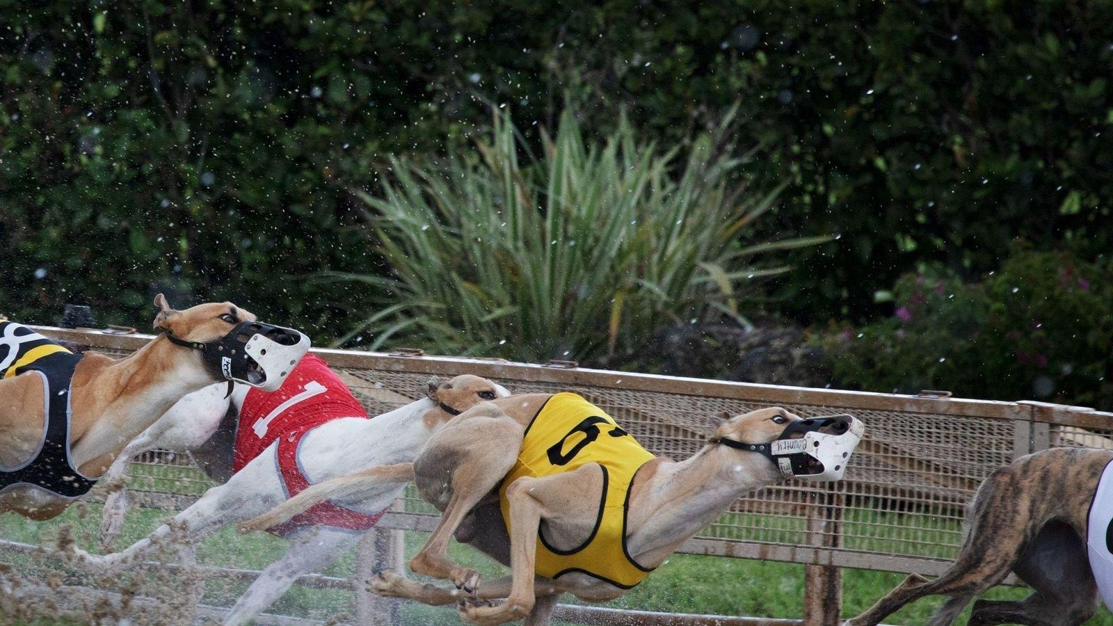 Acht Greyhounds donnern um das sandige Oval in der Derby Lane in St. Petersburg, der ältesten ...