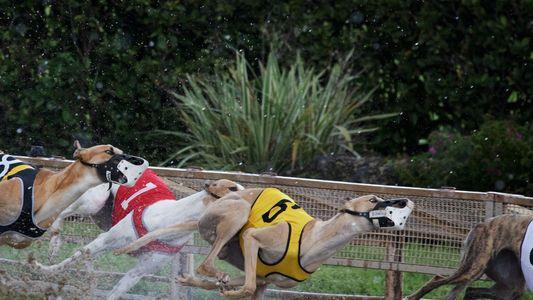 Tierwohl gegen Tradition: Das Ende der Windhundrennen in den USA