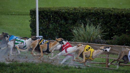 Greyhounds beim Hunderennen