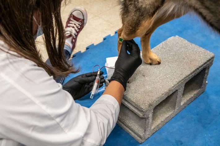 Blutprobe von Hund