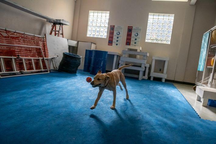 Labrador-Hündin vorm Corona-Training