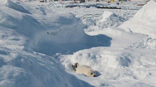 Sattelrobben ohne Eis: Eine ganze Generation verendet am Strand