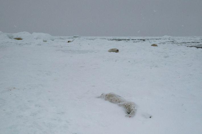 Totes Robbenjungtier
