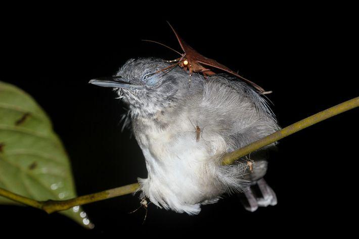Eine Motte auf einem Nördlichen Grauameisenschnäpper