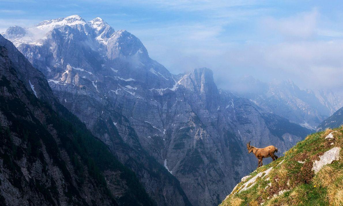 Ein Alpensteinbock trotzt einem steilen Abhang in den Julischen Alpen, deren schneebedeckte Gipfel Slowenien vom Nordosten ...