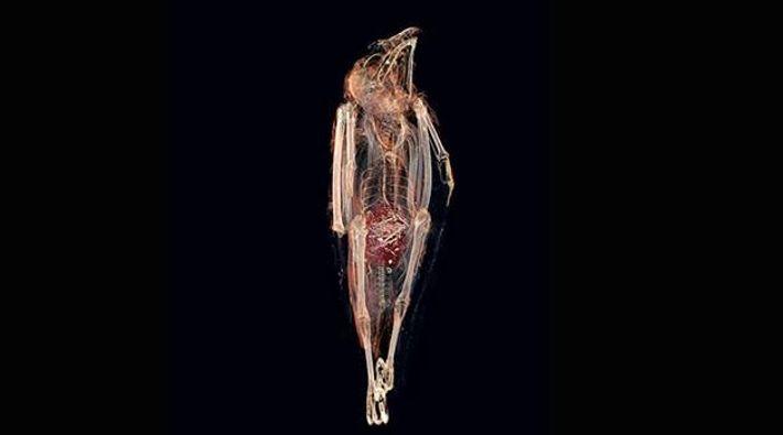 Im Magen liegt der Rest der Maus – zusammen mit Überbleibseln anderer Mahlzeiten.