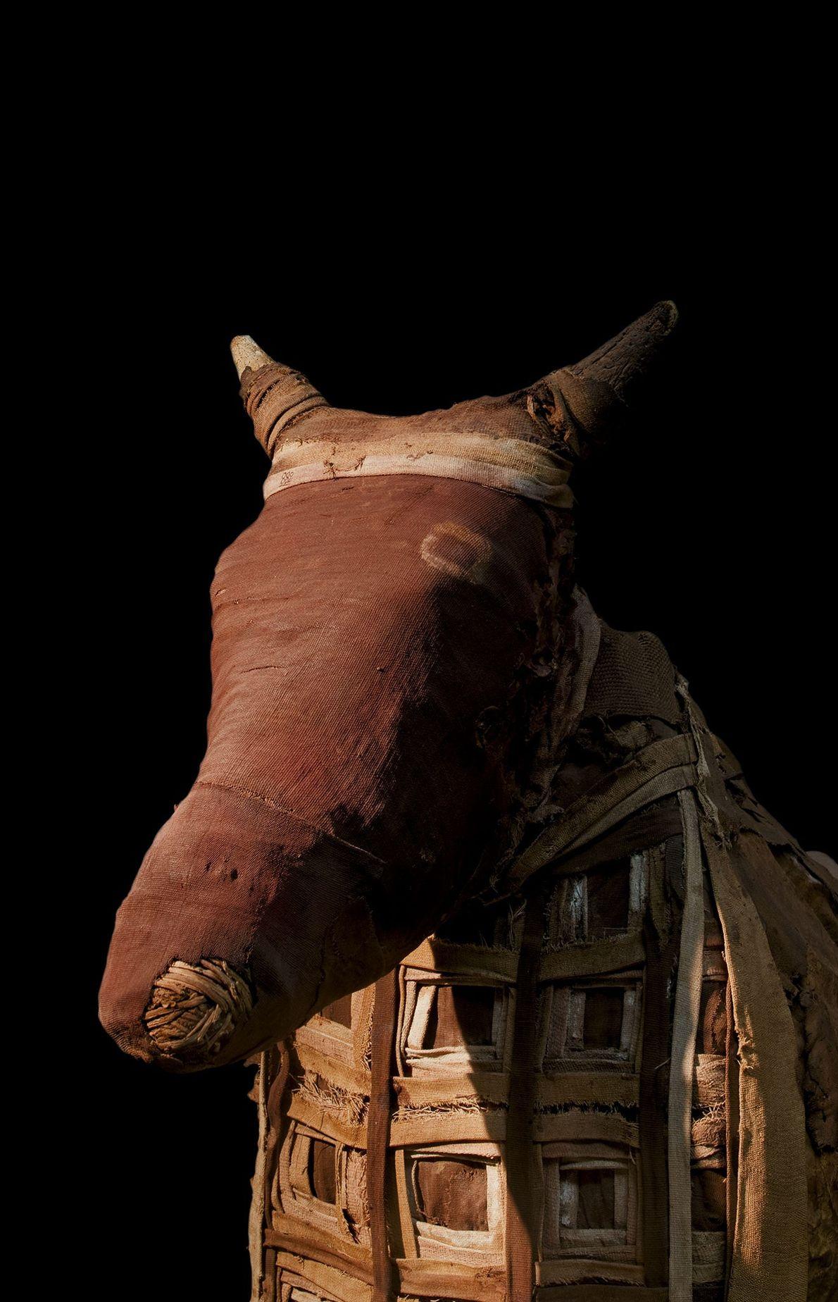 Mumifizierte Kuh