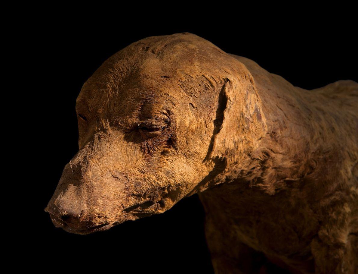 Mumifizierter Jagdhund