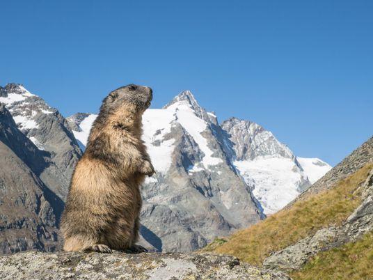 Steinbock, Gams und Murmeltier – Der Club der alpinen Bergsteiger