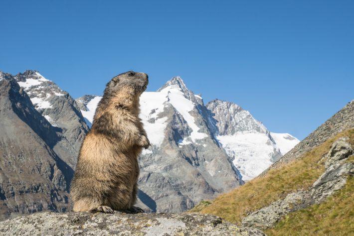 Das Alpenmurmeltier