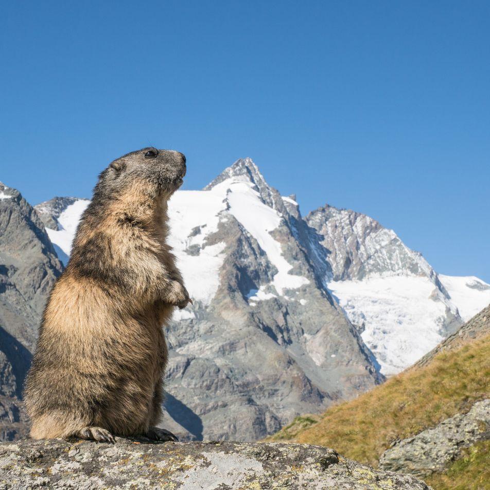 Galerie: Steinbock, Gams und Murmeltier – Der Club der alpinen Bergsteiger