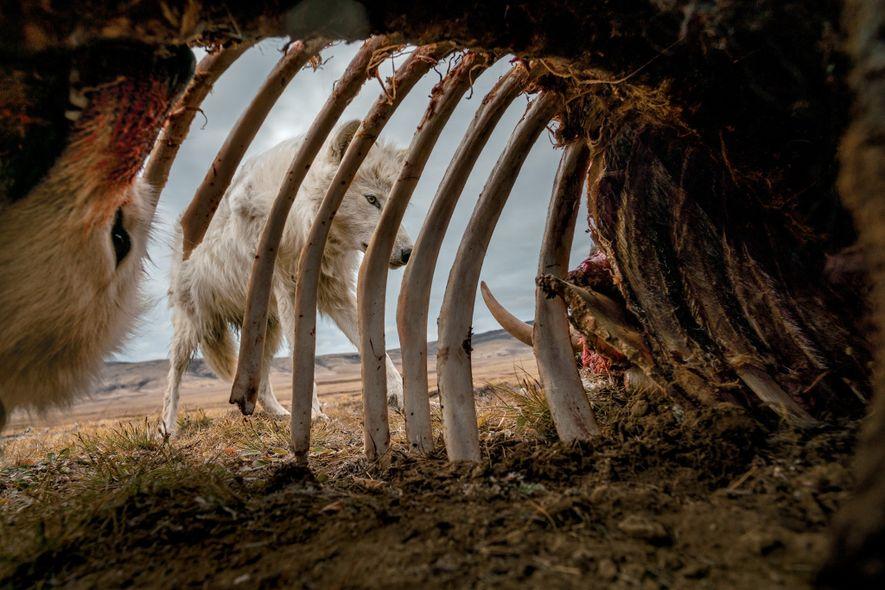 Das raue Leben der Polarwölfe am Ende der Welt