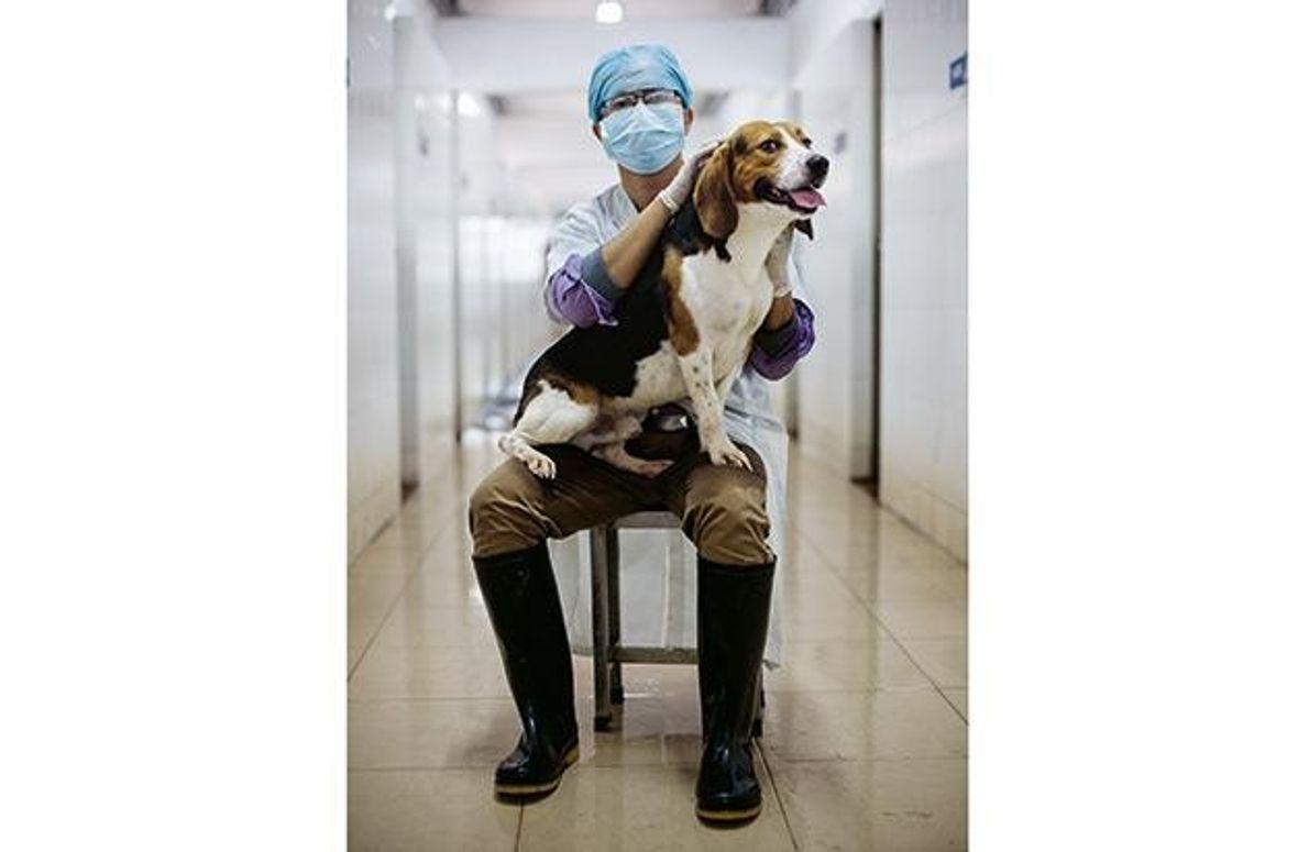 Muskulöser Beagle