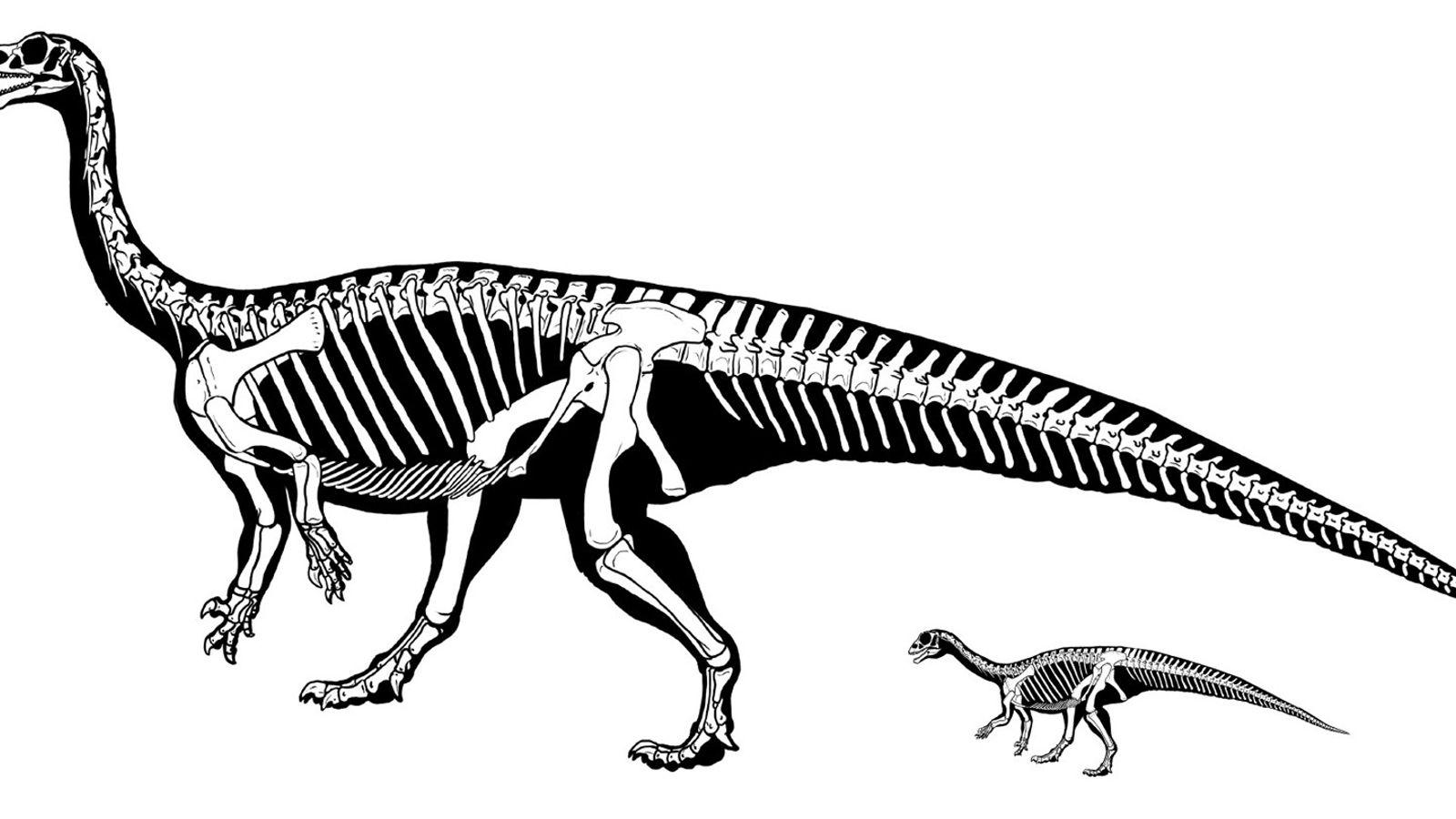 Nach dem Schlüpfen lief dieser Mussaurus patagonicus auf allen Vieren. Als er heranwuchs, verlagerte sich sein ...