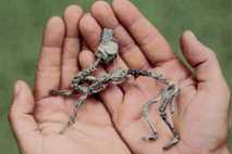 Ein junger Mussaurus patagonicus. Am Beginn ihres Lebens waren die urzeitlichen Tiere klein genug, um auf ...