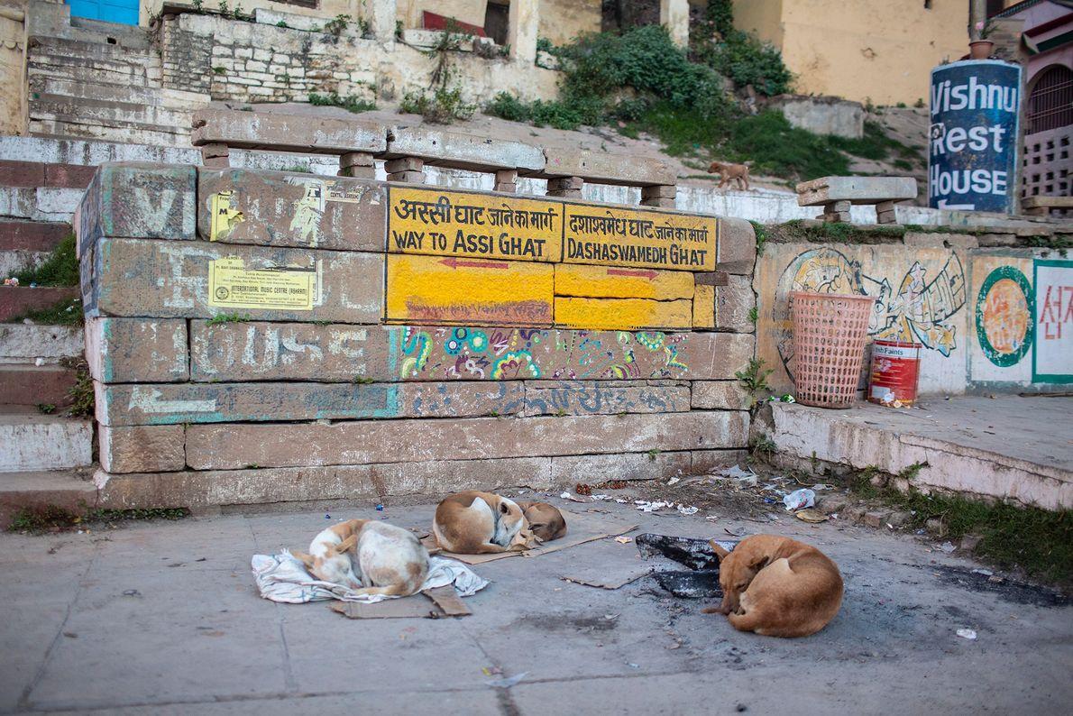 Hunde schlafen auf Stoff und Pappe in Varanasi, um nicht auf dem kalten Boden liegen zu ...
