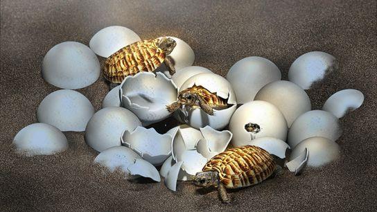 Mithilfe modernster Technik konnten Wissenschaftler den Embryo in dem Urzeit-Ei aus China rekonstruieren, ohne es zu ...