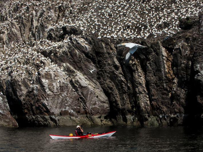 Ein Kajakfahrer fotografiert Basstölpel auf dem Bass Rock, der Heimat der größten Basstölpel-Kolonie der Welt.