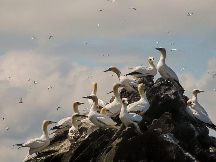 Eine Schar Basstölpel hockt zur Hochsommerzeit auf dem Bass Rock, ein paar Monate vor ihrer langen ...