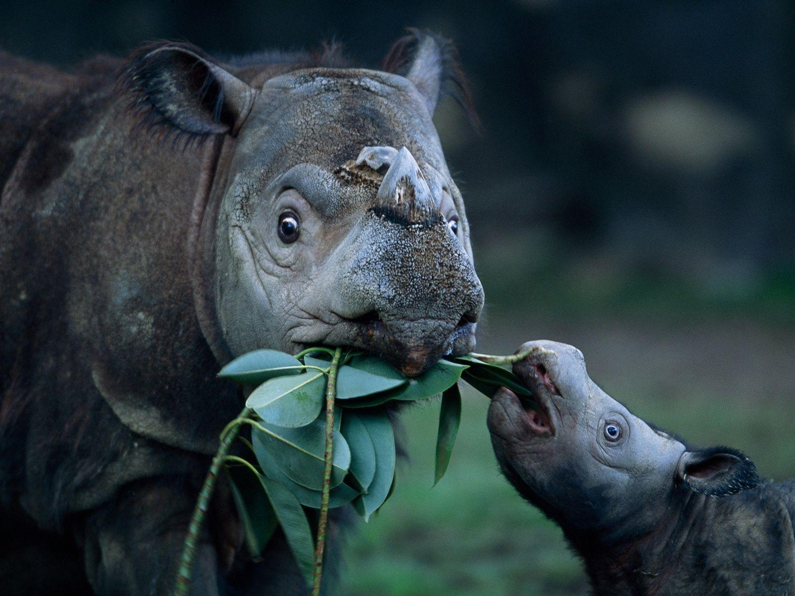 Ein Sumatra-Nashorn und sein Kalb fressen Grünzeug im Zoo von Cincinnati. Nashornmütter investieren viel in ihre Kälber: ...