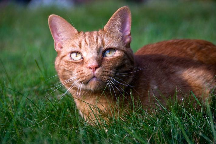 Die Tabby-Hauskatzen haben ihre Streifen von den Falbkatzen geerbt, ihren direkten Vorfahren.