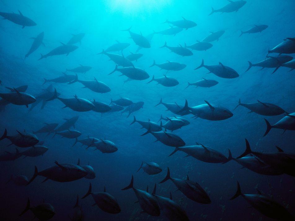 Bestand erholt: Diese Thunfischarten sind nicht mehr vom Aussterben bedroht