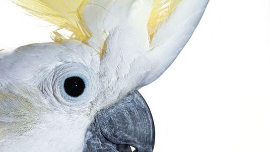 Kopier-Könige: Wie Kakadus von Artgenossen lernen