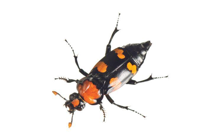 Der amerikanische Totengräber Nicrophorus americanus krabbelte einst in 35 US-Bundesstaaten umher und befreite die fruchtbaren Ebenen von ...