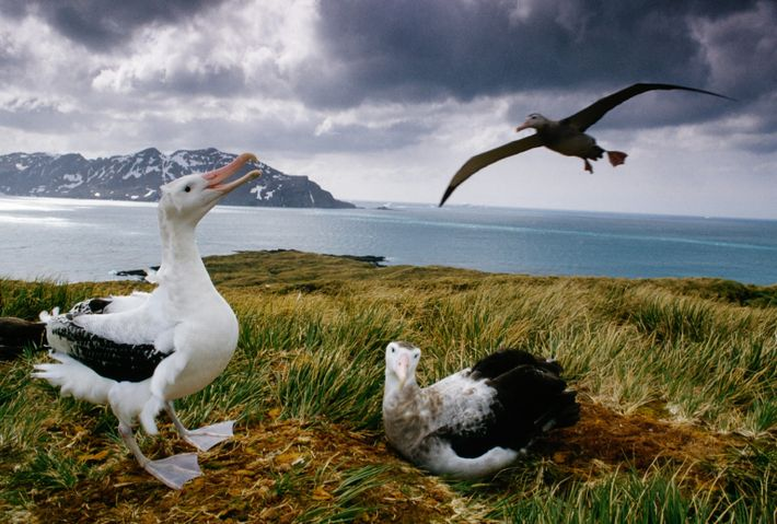 Ein Wanderalbatros-Pärchen auf der Insel Südgeorgien. Die Art hat eine Lebenserwartung von bis zu 50 Jahren.