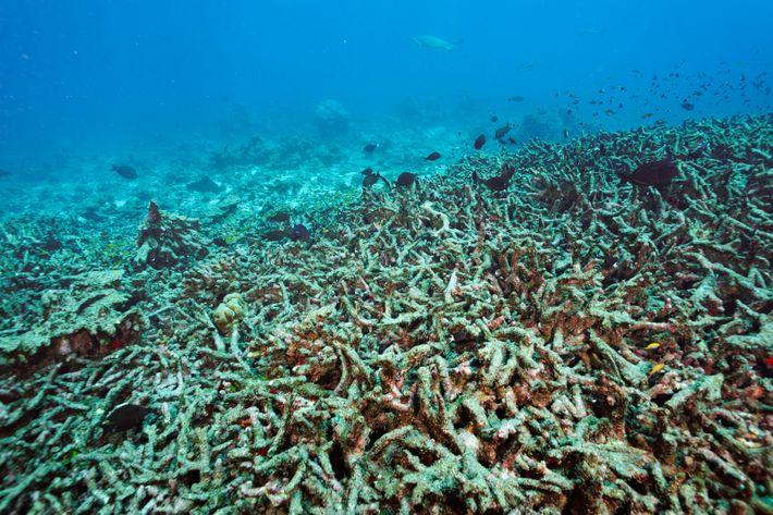 Korallenriffe sind sensible Ökosysteme, die durch vom Menschen erzeugte Umweltverschmutzung und Klimawandel bedroht werden.