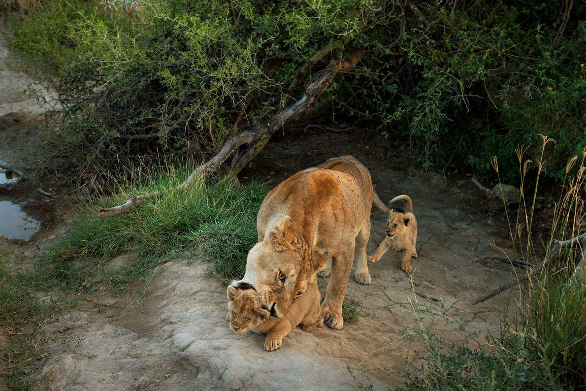 Anders als ihre einzelgängerischen Verwandten sind Löwen sehr soziale Katzen. Sie leben in Rudeln, die vorwiegend ...