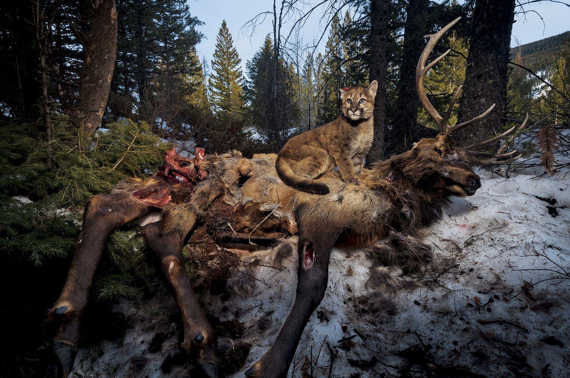 Ein vier Monate alter Puma namens Lucky sitzt auf einem Kadaver in der Yellowstone-Region.