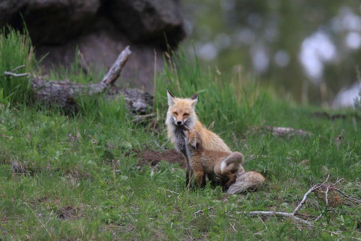 """Ein Fuchswelpe """"küsst"""" seinen Vater im Yellowstone-Nationalpark in Montana."""
