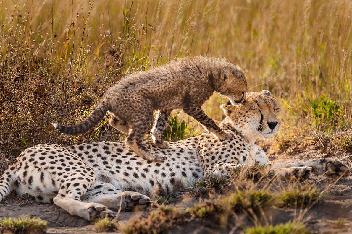 Eine Gepardenfamilie liegt im Serengeti-Nationalpark in Tansania eine Spielpause ein. Gepardenmütter arbeiten hart: In den ersten Wochen ...