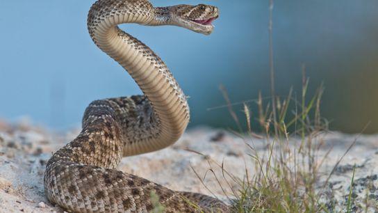 Eine Texas-Klapperschlange bereit zum Angriff. Neue Forschungen haben ergeben, dass die Frequenz des Warnrasselns der Schlange ...