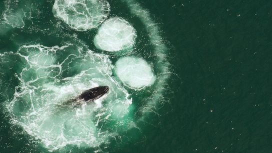 Ein Buckelwal bei der Nahrungssuche vor der Küste Cape Cods, USA. Buckelwale nutzen eine besondere Jagdmethode, ...