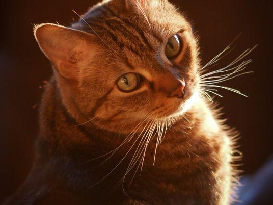 Tabbys und ihr besonderes Fell: Wie kommen die Streifen an die Katze?