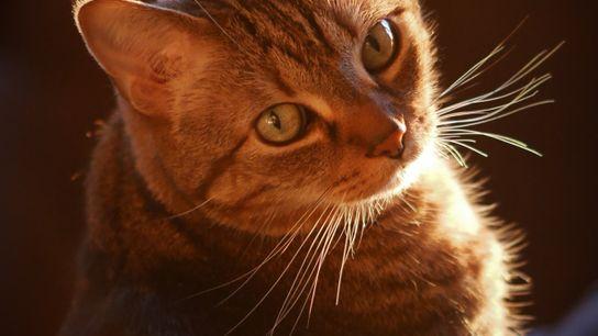 Unter den 15,7 Millionen Hauskatzen in Deutschland sind auch viele gestreifte Tabbys.
